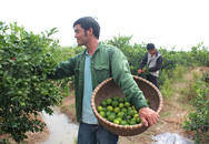 Chàng cử nhân Ngoại thương về quê trồng chanh: Thu 1 tỷ vẫn lo cả làng cười chê