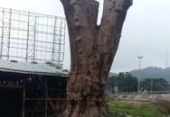 """Gặp """"dị nhân"""" từ chối bán cây quý... 1 triệu USD để dùng tạo hình Phật mộc"""