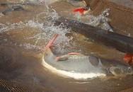 Cận cảnh đàn cá Amazon bạc tỷ của anh hai miền Tây