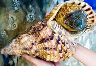 'Hoàng hậu' ốc nặng 5kg: Giá 3 triệu, ăn xong tranh nhau cái vỏ