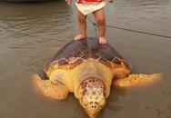 Rùa màu vàng 70kg xuất hiện ở vùng biển Quảng Trị