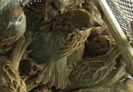 """Cơn sốt săn chim sẻ vì tin đồn """"thần dược cường dương"""""""