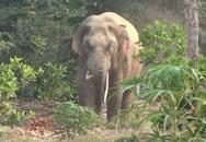 Sơn La: Người dân hốt hoảng vì voi rừng tắm ở ao cá, ngủ tại chuồng bò!