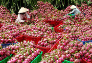 Thanh long Bình Thuận tăng giá cao kỷ lục
