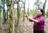 Quảng Bình: Nông dân điêu đứng vì tiêu chết không rõ nguyên nhân