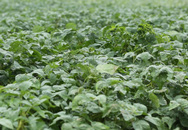 Bảo Xuân xây dựng vùng trồng đậu nành theo tiêu chuẩn GACP-WHO đầu tiên tại Việt Nam