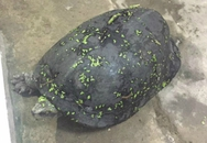 Bắt được rùa 15kg có vân như vỏ dưa hấu ở Hà Nội