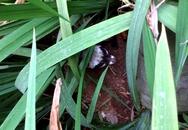Cầy vòi hương lạc vào vườn nhà cố Đại tướng Võ Nguyên Giáp