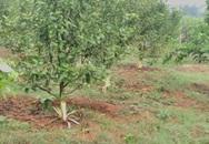 Vườn cam gần đến kỳ thu hoạch bất ngờ bị cạo nhẵn gốc
