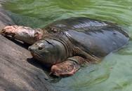 Xác nhận không còn 'cụ rùa' nào ở hồ Gươm