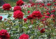 Nếu muốn trồng hoa hồng thì đây là thời điểm tốt nhất bạn không thể bỏ lỡ
