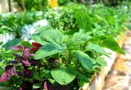 4 mẹo trồng rau đay, rau dền ăn cả hè không hết