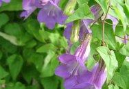 11 loại cây hoa leo rực rỡ dù trồng trong chậu