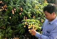 Vải thiều Bắc Giang mất mùa, giá tăng mạnh