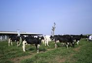 Công bố công nghệ giống phôi bò sữa cao sản tốt nhất Việt Nam