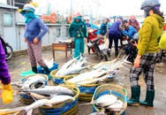 """Đàn cá bè vàng """"khủng"""" bất ngờ xuất hiện ở vùng biển Quảng Trị"""