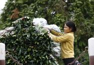 """Hà Nội: Nông dân Tây Tựu """"khóc ròng"""" vì hoa ly nở bung cả vườn"""