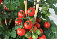 Đây là cách trồng cà chua nhanh nhất mà bạn đã bỏ qua một cách đáng tiếc