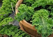 Trời lạnh, còn chần chừ gì mà không trồng rau cải xoăn Kale - nữ hoàng rau xanh