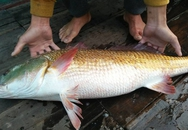 Ngư dân bắt được cá 8kg nghi sủ vàng quý hiếm