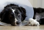 Người phụ nữ Italy nghỉ chăm chó ốm vẫn được trả lương
