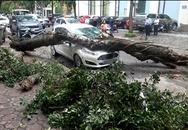 Nhiều cây xanh ở Hà Nội bị đổ vì không có rễ