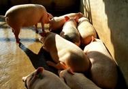 Lợn ăn trà xanh, tắm trà xanh: Đại gia Nhật xin mua không bán