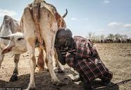 Bộ lạc châu Phi uống sữa trực tiếp từ vú bò
