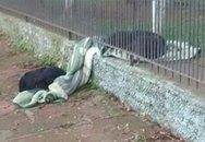 Chó nhà lôi chăn ra khỏi chuồng chia sẻ với chó hoang