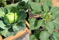 Trồng rau trong khung gỗ - giải pháp thẩm mỹ cho một khu vườn đẹp