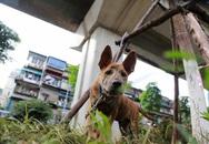 Hà Nội: Chó vẫn thả rông, không rọ mõm trước ngày luật bắt chó có hiệu lực
