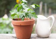 Không cần gieo hạt, phương pháp trồng rau mùi mới này sẽ giúp bạn nhanh thu hoạch