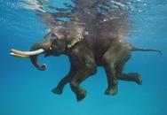 Bị trôi lạc ra biển 15km, chú voi rừng may mắn được hải quân cứu sống