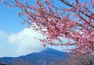 Đến Nhật ngắm hoa anh đào với giá tiết kiệm đến 30%
