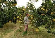 Biến đồi hoang xanh rờn cỏ dại thành vườn quả vàng, thu 300 triệu/năm