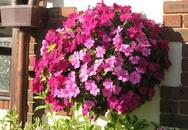 """12 loài hoa khiến ban công nhà bạn """"nổi nhất phố"""""""
