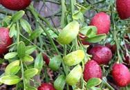 Học cách trồng chanh máu, loại chanh vừa quý vừa thơm ngon, bắt mắt