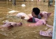 """""""Thấy đàn lợn gần 6.000 con đuối dần trong nước lũ nhưng tôi bất lực"""""""