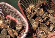 Độc lạ nuôi hàu trong rổ nhựa, kiếm 100 triệu mỗi năm