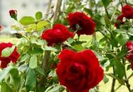 Vườn hoa hồng sực nức mùi thơm của ca sĩ Mỹ Lệ