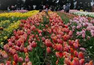 """""""Lạc lối"""" giữa nông trại hoa tulip đẹp như tranh vẽ"""