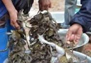 Câu ếch đồng mùa nước nổi, mỗi đêm bắt 5-10 ký, dư vài trăm ngàn