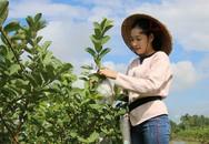 Hot girl 9X Đồng Tháp về quê trồng ổi Mỹ, mỗi năm bán 90 tấn trái thu về hàng trăm triệu