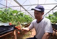 Trồng dâu tây bán ngay tại vườn, mỗi tháng thu 250 triệu đồng