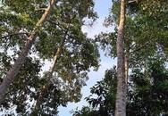 Loài cây thẳng tắp, cao vút, ra quả thơm,... bán đắt như vàng