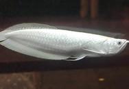 Vì sao cá rồng bạch kim có giá 9 tỷ đồng, đắt nhất thế giới?