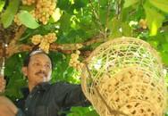 """Trái chua chua, ngọt ngọt mỗi mùa """"đẻ"""" cả chục triệu ở Quảng Nam"""