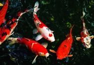 Lý do cá chép Koi có thể trị giá hàng triệu USD