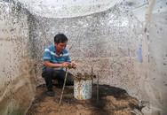 Trại nuôi ruồi lấy trứng thu hơn trăm triệu đồng mỗi tháng