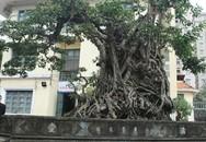 Doanh nhân đổi 8 lô đất ở Thủ đô lấy cây sanh cổ nhất châu Á